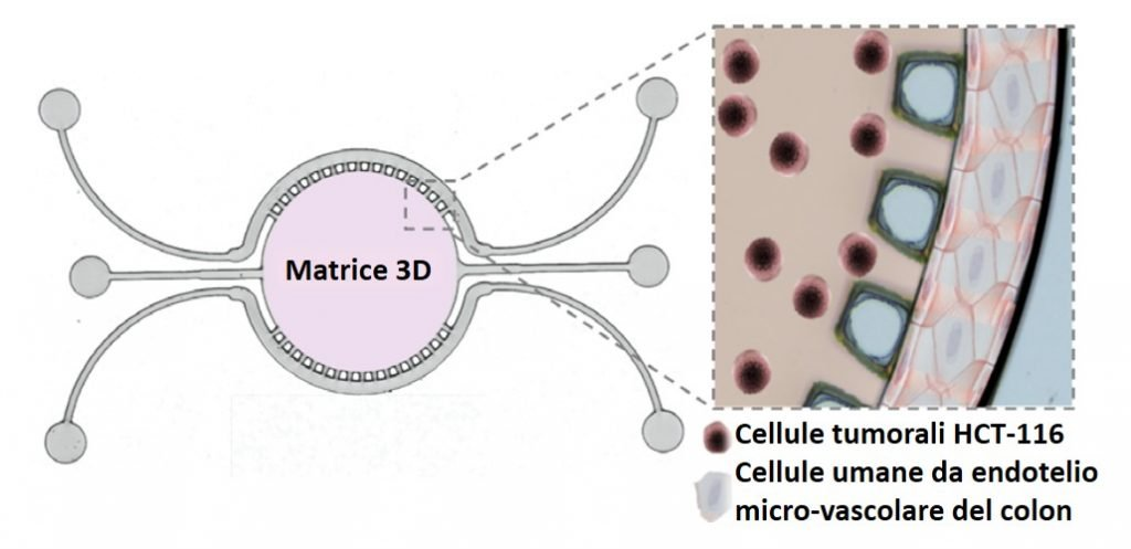 colon endotelio chip matrice