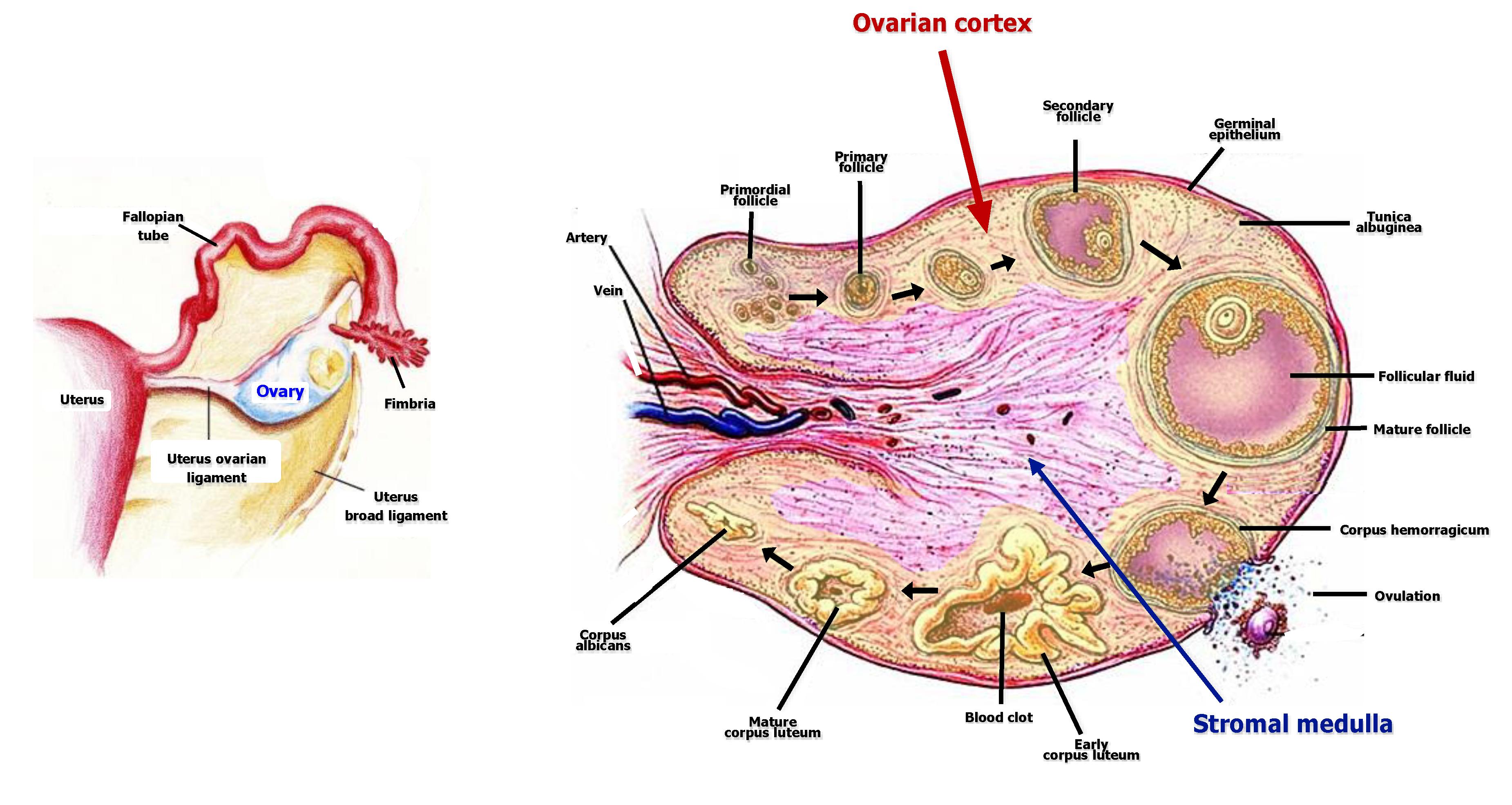 schema ciclo ovarico ovary uterus fallopian tubes follicle