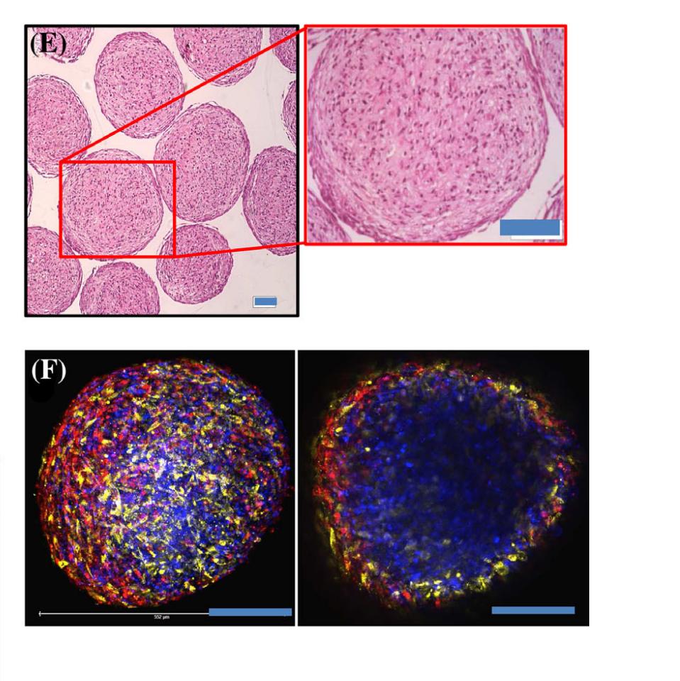 organoidi testicoli istologia immunofluorescenza organoids microscope reproduction biology
