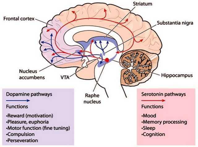 funzione produzione neurotrasmettitore dopamina cervello