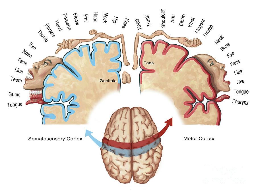 Corteccia Motoria Cervello Anatomia