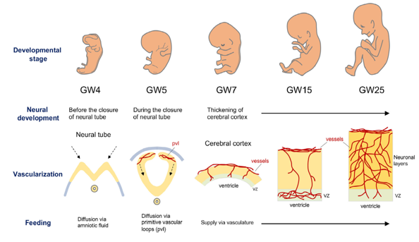 sviluppo embrione cervello vascolarizzazione