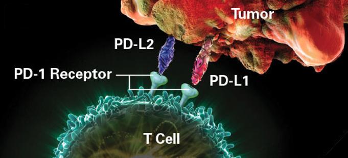 risposta immunitaria antitumorale PD-1 PD-L1 tumore