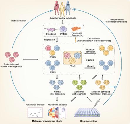 Organoidi pancreas applicazioni