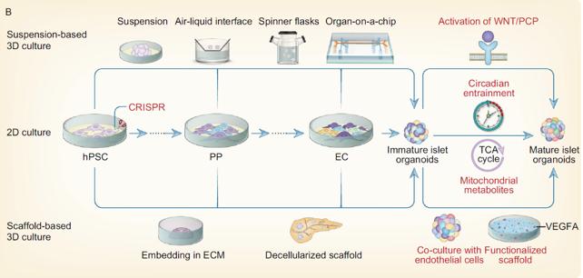 organoidi maturazione isole 3D