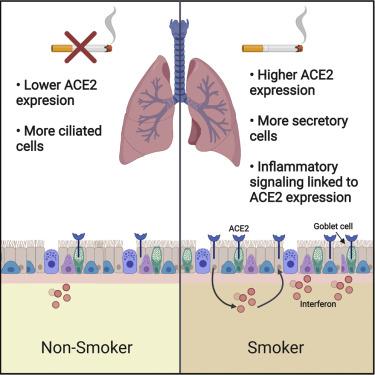 fumatori covid ace2