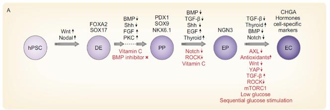 Protocolli generazione cellule beta Isole pancreatiche
